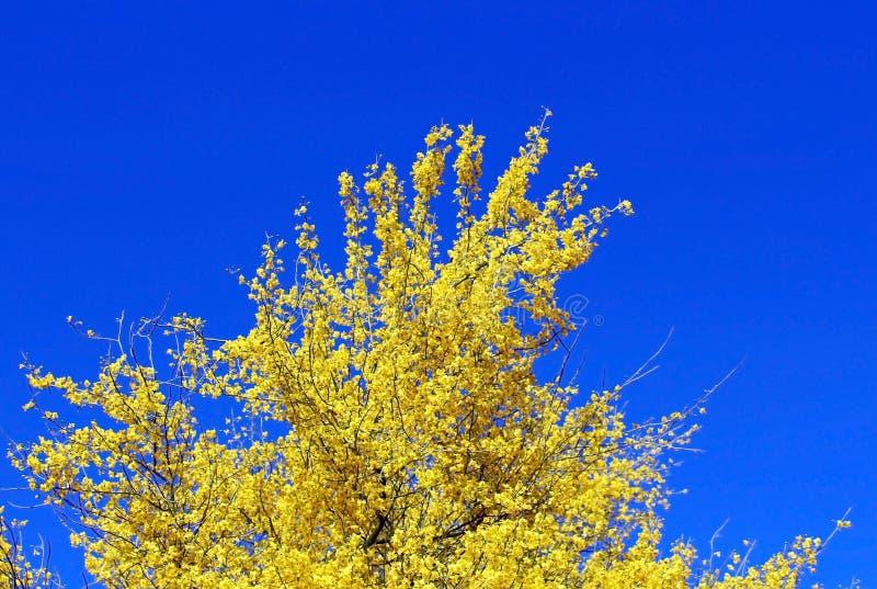 Palo Verde di fioritura, albero dello stato dell'Arizona fotografia stock libera da diritti