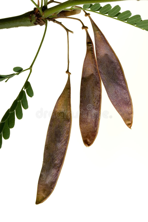 Palo Verde Legumes. Legumes of Palo Verde on twig; isolated on white stock photos
