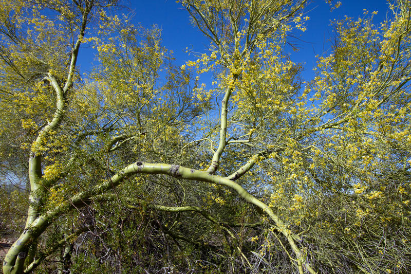 Palo Verde Tree immagini stock