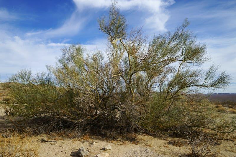 Palo Verde Tree i Joshua Tree National Park, Kalifornien arkivfoton