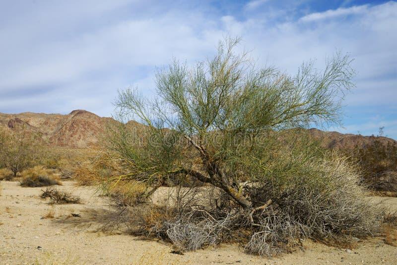 Palo Verde Tree i Joshua Tree National Park, Kalifornien, USA royaltyfri foto
