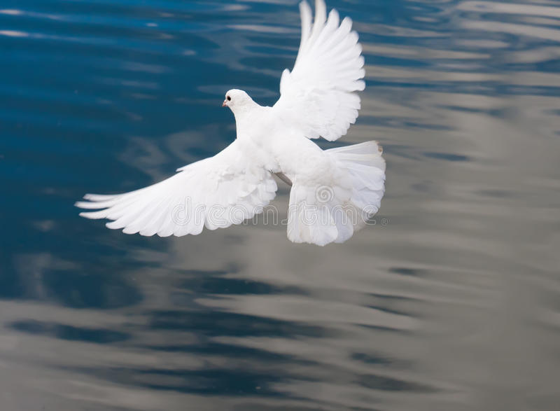 Paloma blanca fotografía de archivo libre de regalías