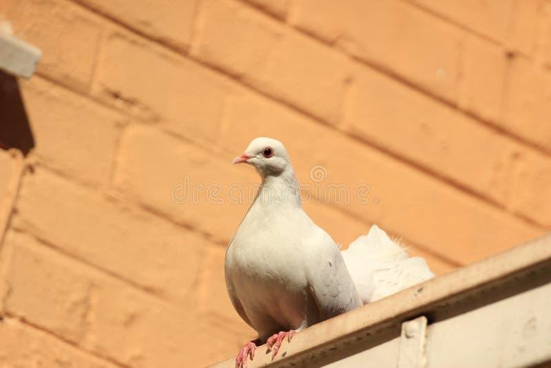 Paloma blanca doméstica de la cola de milano que se sienta en un tejado fotografía de archivo libre de regalías