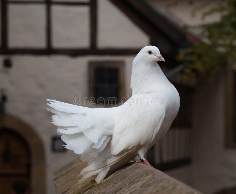Paloma blanca elegante de la cola de milano que se sienta orgulloso en una pared de piedra foto de archivo libre de regalías