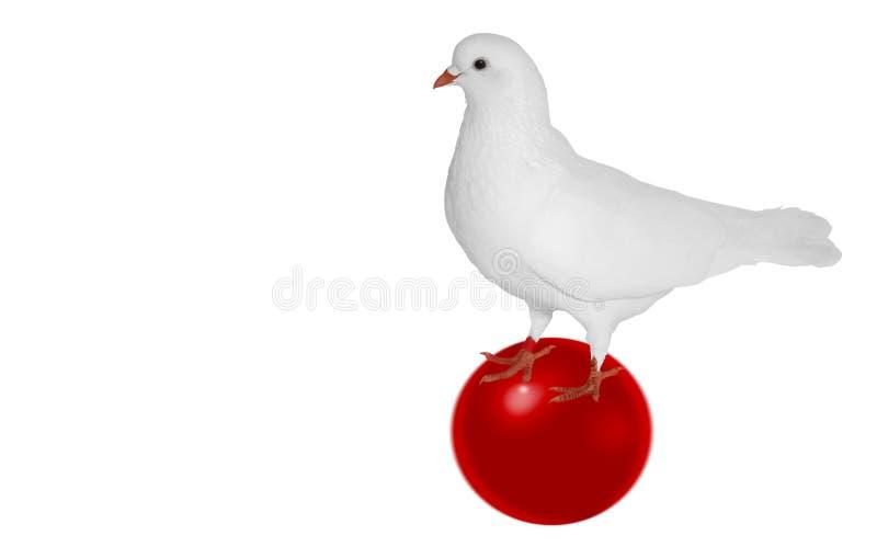 Paloma blanca en una bola roja aislada en un fondo blanco imágenes de archivo libres de regalías