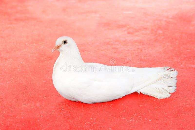 Paloma blanca hermosa de la cola de milano fotografía de archivo