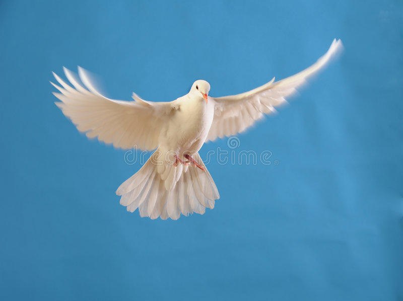 Paloma blanca que vuela aislada en azul foto de archivo