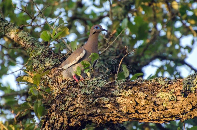 paloma Blanco-coa alas, Texas Hill Country fotos de archivo