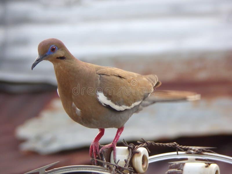 Paloma coa alas blanca foto de archivo libre de regalías