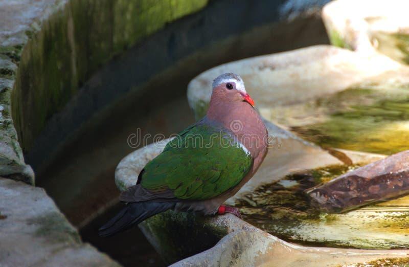 Paloma colorida en la charca imagenes de archivo