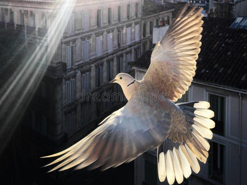 Paloma con collarín de eurasiático iluminado con alas completamente extendidas fotos de archivo