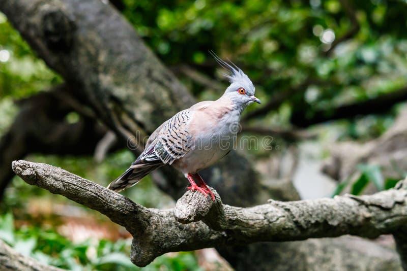 Paloma con cresta australiana en el miembro de árbol imagen de archivo libre de regalías