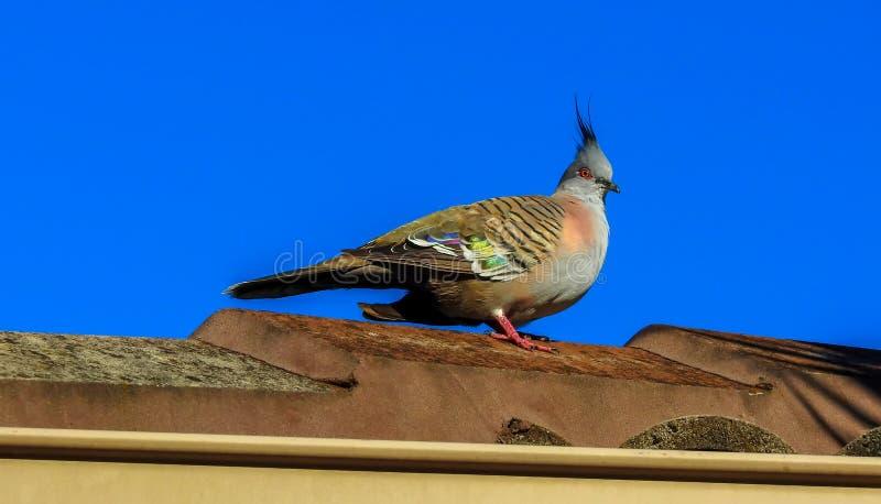 Paloma con cresta en el tejado foto de archivo libre de regalías