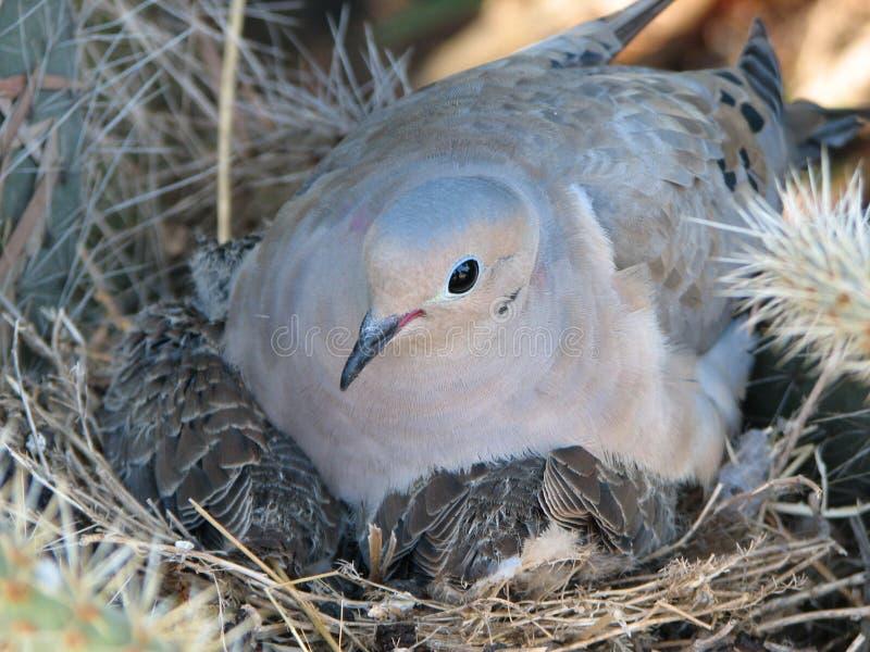 Paloma con los polluelos imágenes de archivo libres de regalías