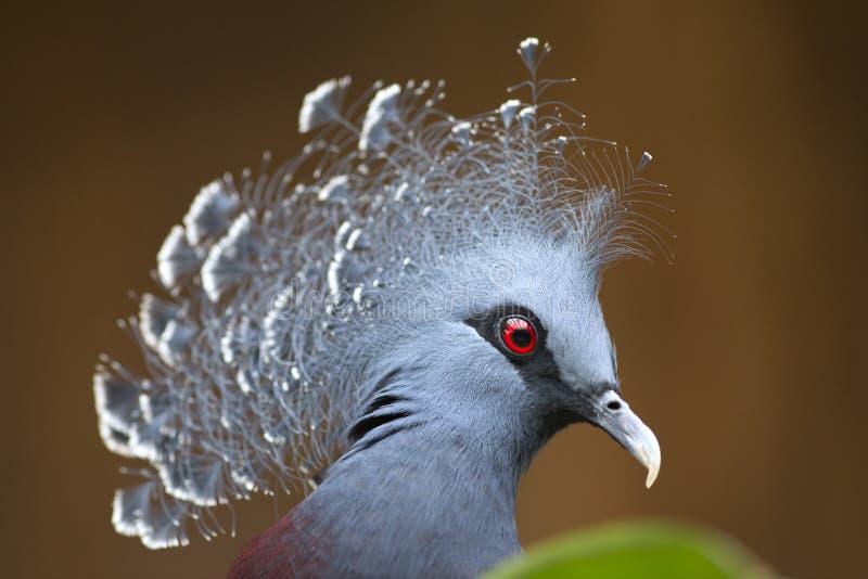 Paloma coronada Victoria de Nueva Guinea (Goura Victoria) fotos de archivo