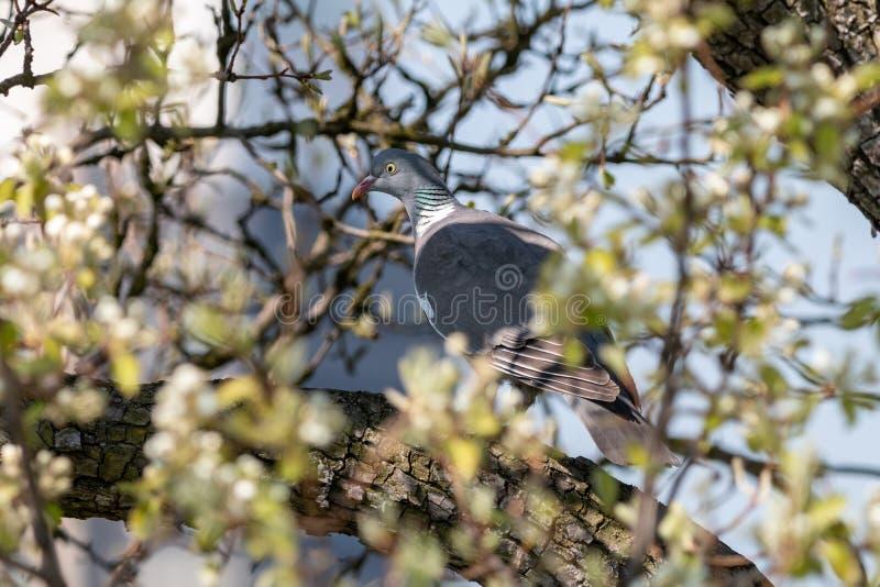 Paloma de madera en bosque de la primavera imágenes de archivo libres de regalías