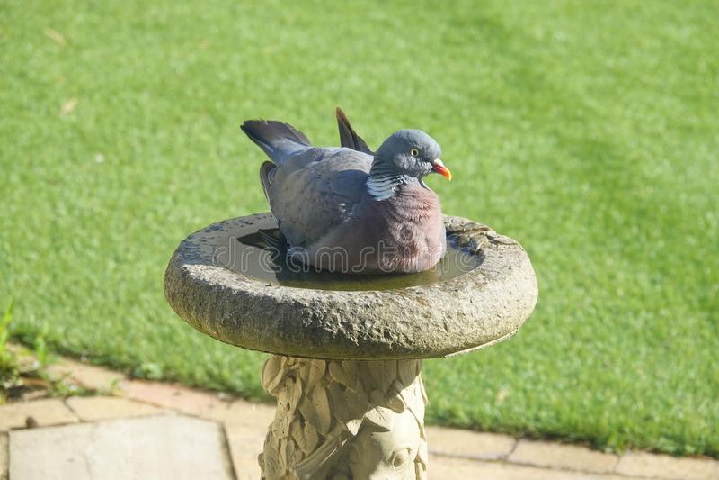 Paloma de madera que se sienta en el baño de piedra del pájaro fotos de archivo libres de regalías