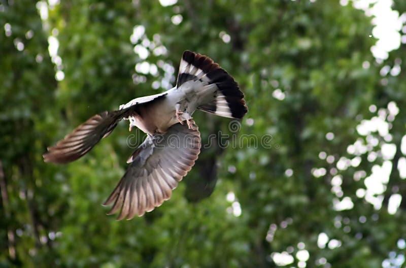 Paloma de madera que vuela con las plumas desaliñadas y el follaje verde foto de archivo libre de regalías