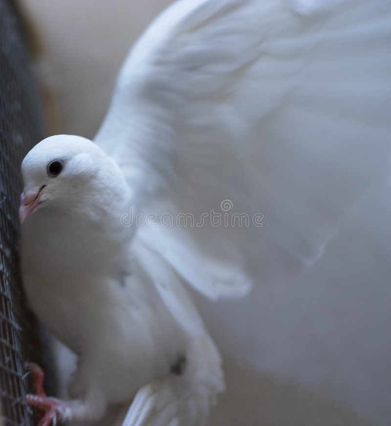 Paloma del blanco - paz foto de archivo