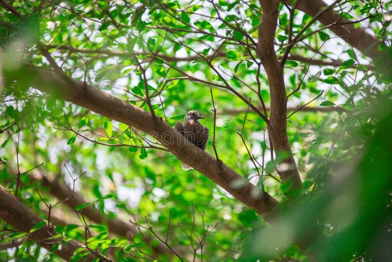 Paloma en el árbol, paloma en el árbol foto de archivo
