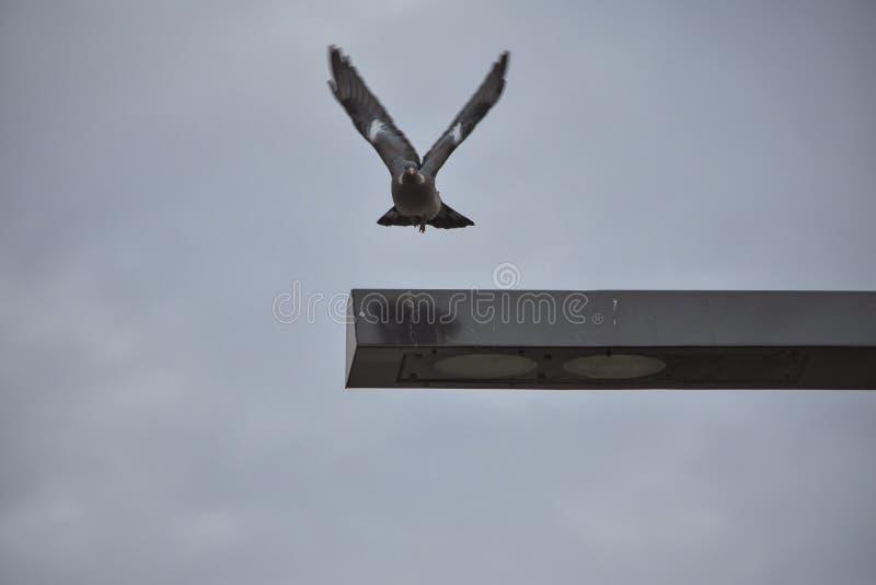 Paloma en el aire fotografía de archivo libre de regalías