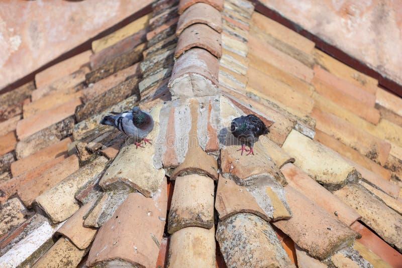 Paloma en el tejado fotografía de archivo libre de regalías