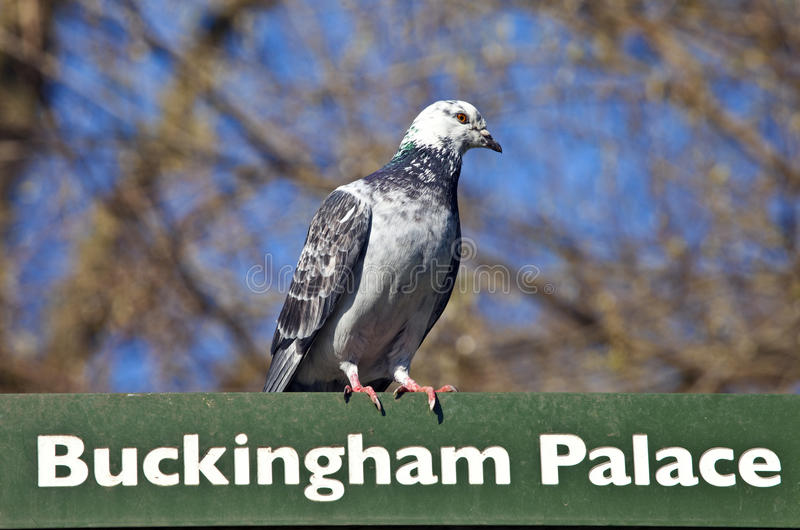 Paloma en un poste indicador en Londres foto de archivo