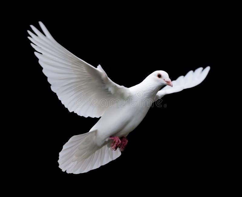Paloma en vuelo 7 del blanco imagen de archivo