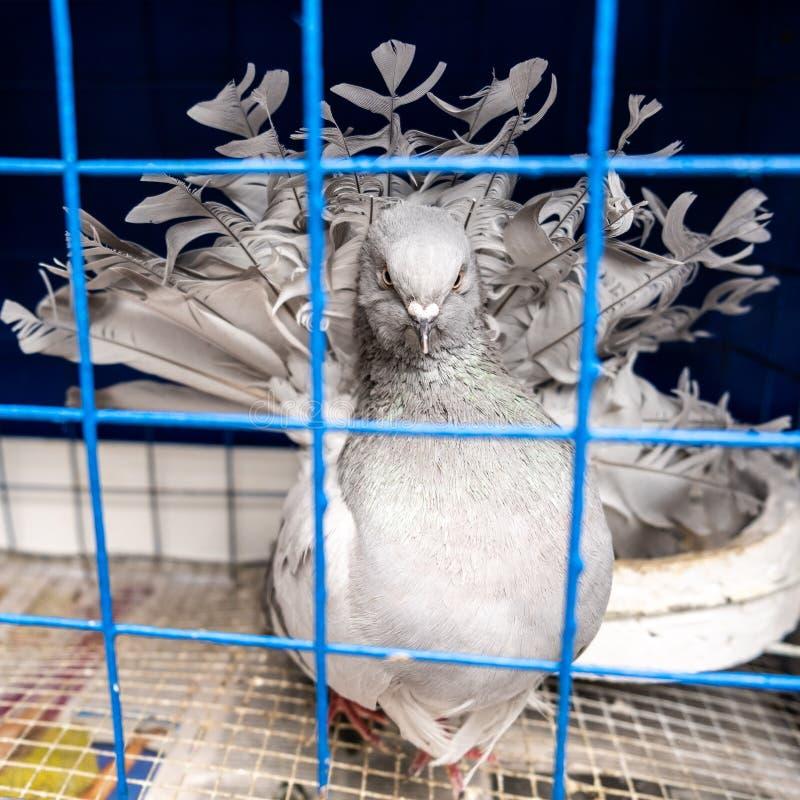 Paloma gris decorativa en una jaula fotografía de archivo