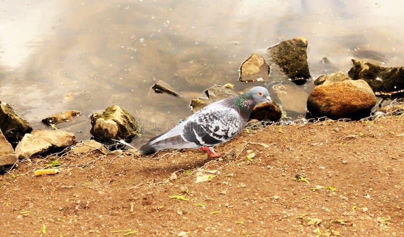 Paloma que alimenta en el valle rojizo fotos de archivo libres de regalías