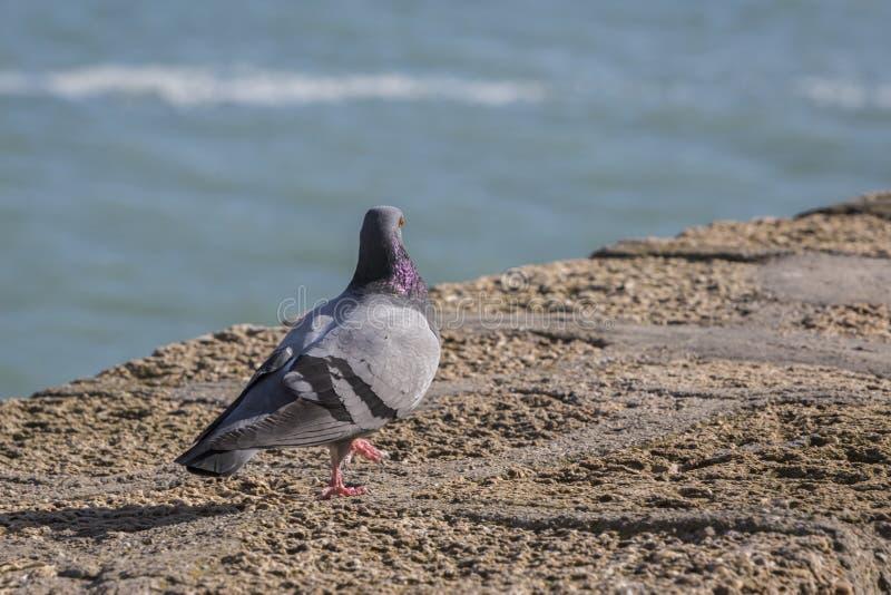 Paloma walking near the beach of La Caleta in Cadiz stock photography