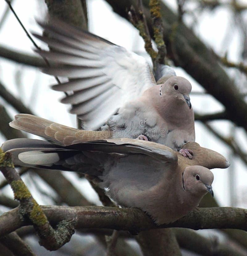 Palomas agarradas que se acoplan en un árbol foto de archivo