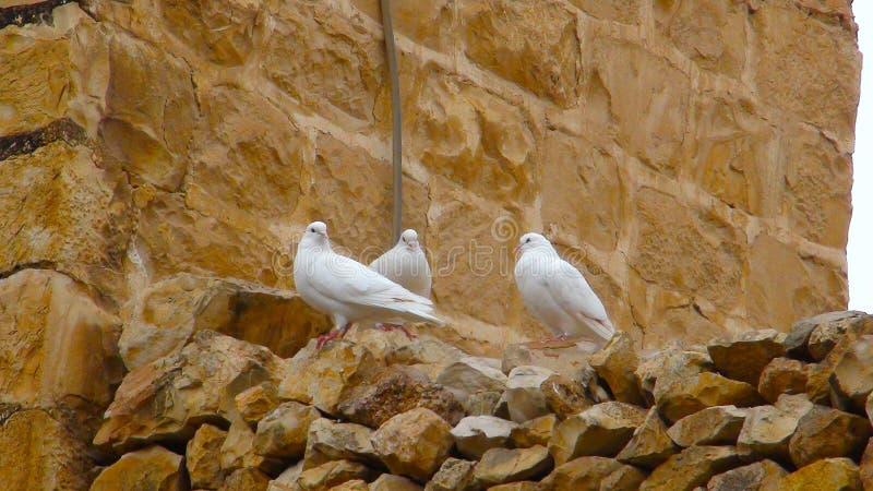 Palomas blancas El marcha Saba Monastery, Laura de nuestro padre santo Sabbas fotos de archivo