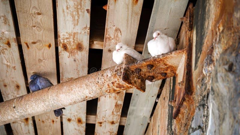 Palomas blancas y palomas que se sientan debajo del puente de madera imagenes de archivo