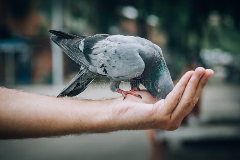 Palomas de alimentación del hombre joven en parque de la ciudad fotografía de archivo libre de regalías