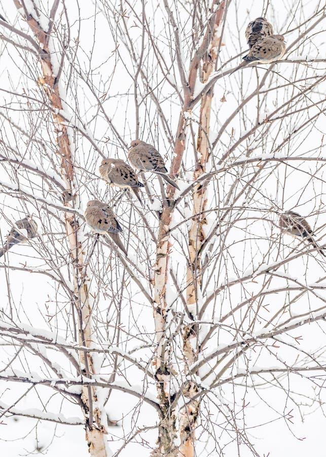 Palomas del invierno imagenes de archivo