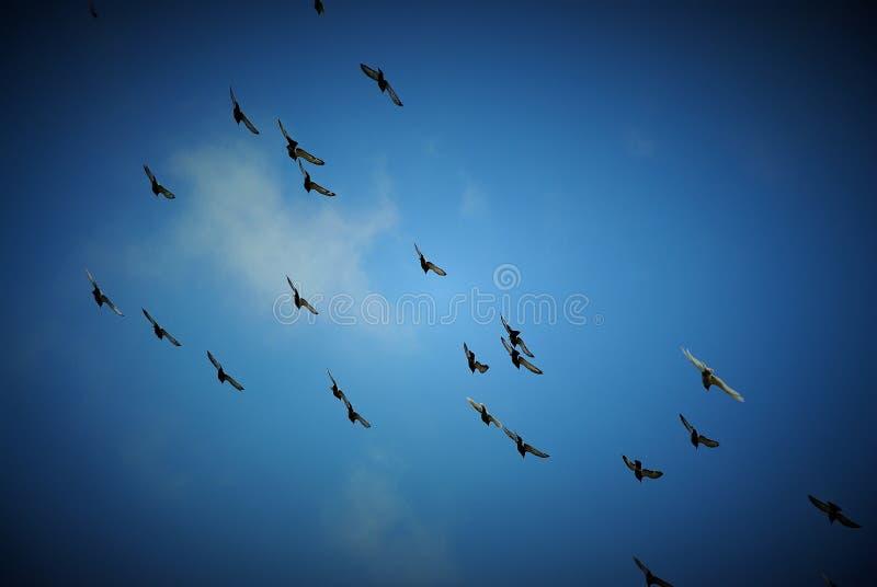 Palomas del vuelo imagen de archivo