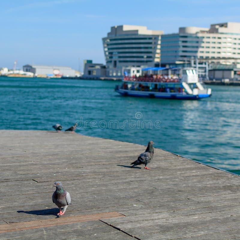Palomas en Barcelona cerca del agua Palomas negras, nave en el río imágenes de archivo libres de regalías