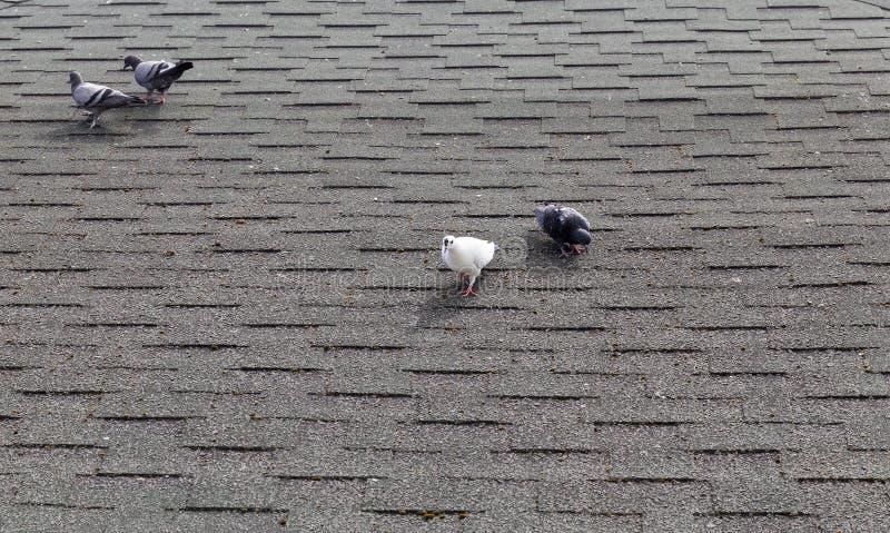Palomas en el tejado imagenes de archivo