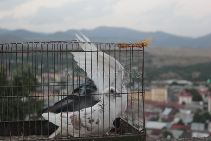 Palomas en la jaula antes de la libertad foto de archivo libre de regalías