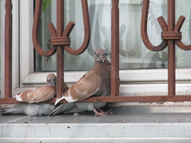Palomas en la ventana imagen de archivo