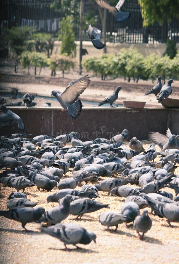 Palomas que alimentan en un cuadrado de ciudad fotos de archivo