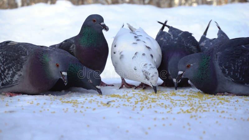 Palomas que comen el grano en nieve media Primer de picotear gris de las palomas dispersado en la fila de cereales en nieve en so fotos de archivo libres de regalías