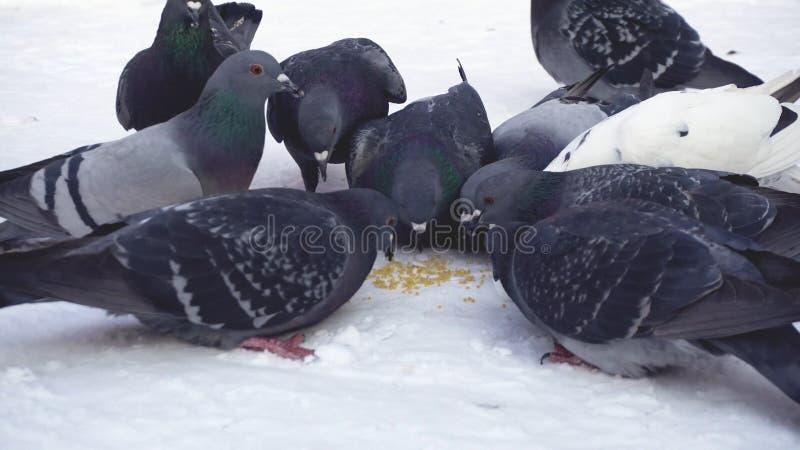 Palomas que comen el grano en nieve media Primer de picotear gris de las palomas dispersado en la fila de cereales en nieve en so imágenes de archivo libres de regalías