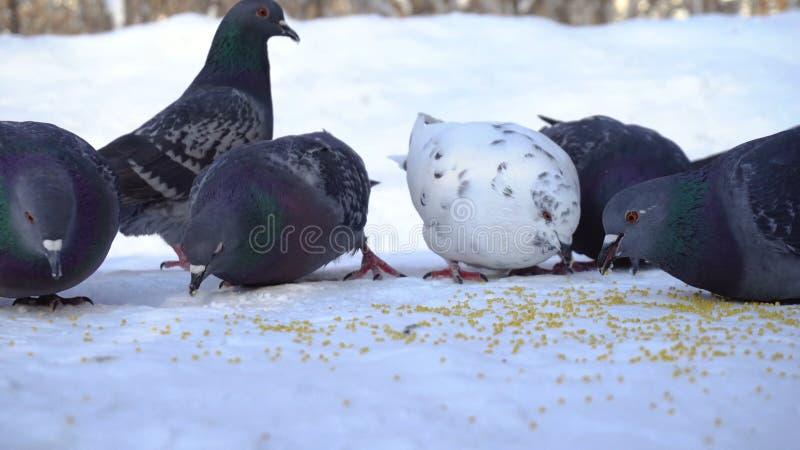 Palomas que comen el grano en nieve media Primer de picotear gris de las palomas dispersado en la fila de cereales en nieve en so foto de archivo