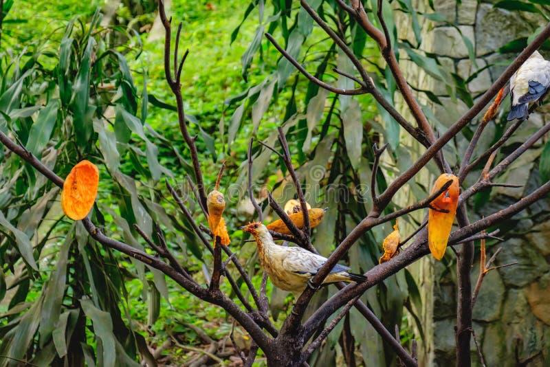 Palomas que comen la papaya fotografía de archivo
