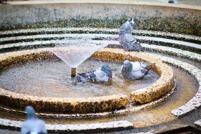 Palomas que se bañan en fuente de agua circular en la victoria, Victoria, cuadrado de Victoriei imágenes de archivo libres de regalías