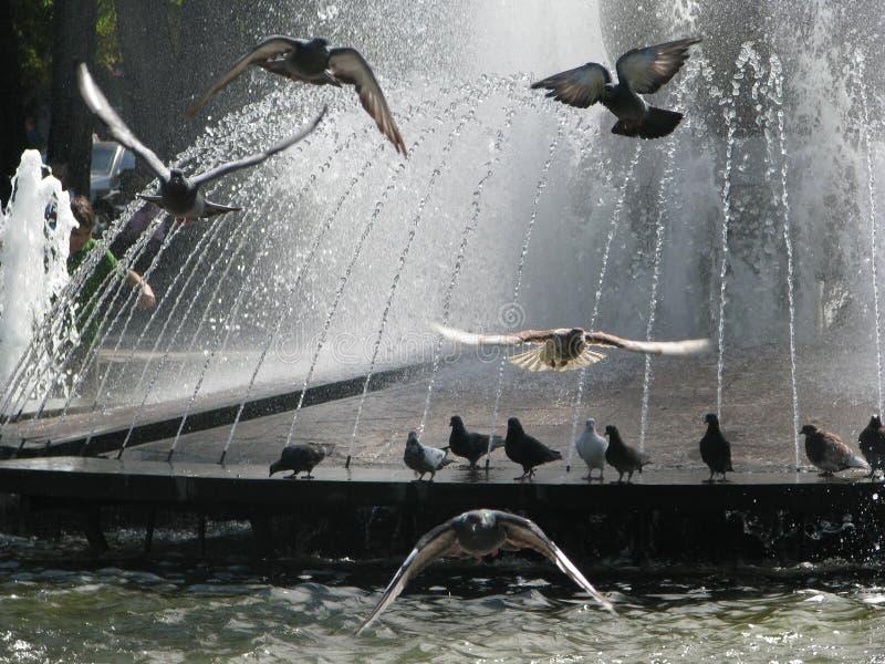 Palomas que vuelan en la fuente fotos de archivo libres de regalías