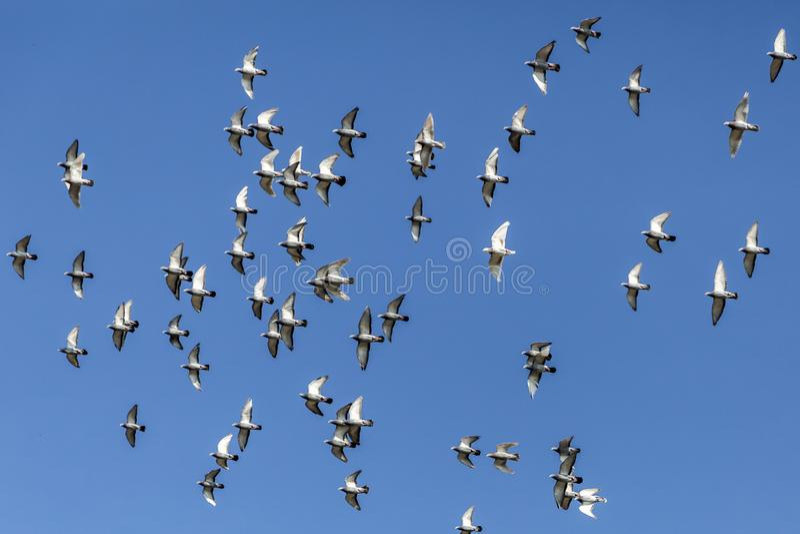 Palomas que vuelan en un día soleado hermoso con un fondo del cielo azul foto de archivo libre de regalías