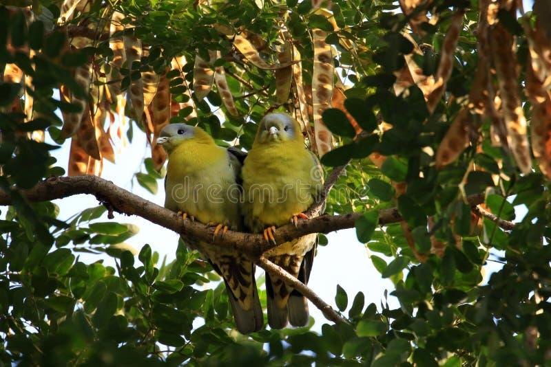 Palomas verdes footed amarillas imagenes de archivo